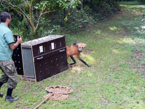Lobo-guará volta à natureza depois de tratamento em Zoo de Sorocaba (Fot Emerson Ferraz/Prefeitura de Sorocaba)