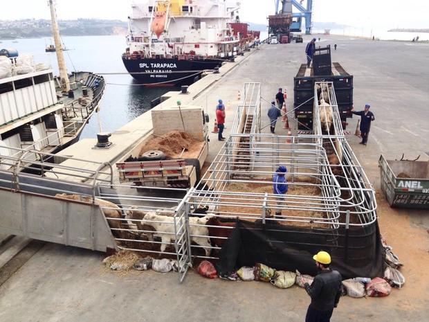 Terneiros entram no navio através de uma rampa (Foto: Gabriel Felipe/RBS TV)
