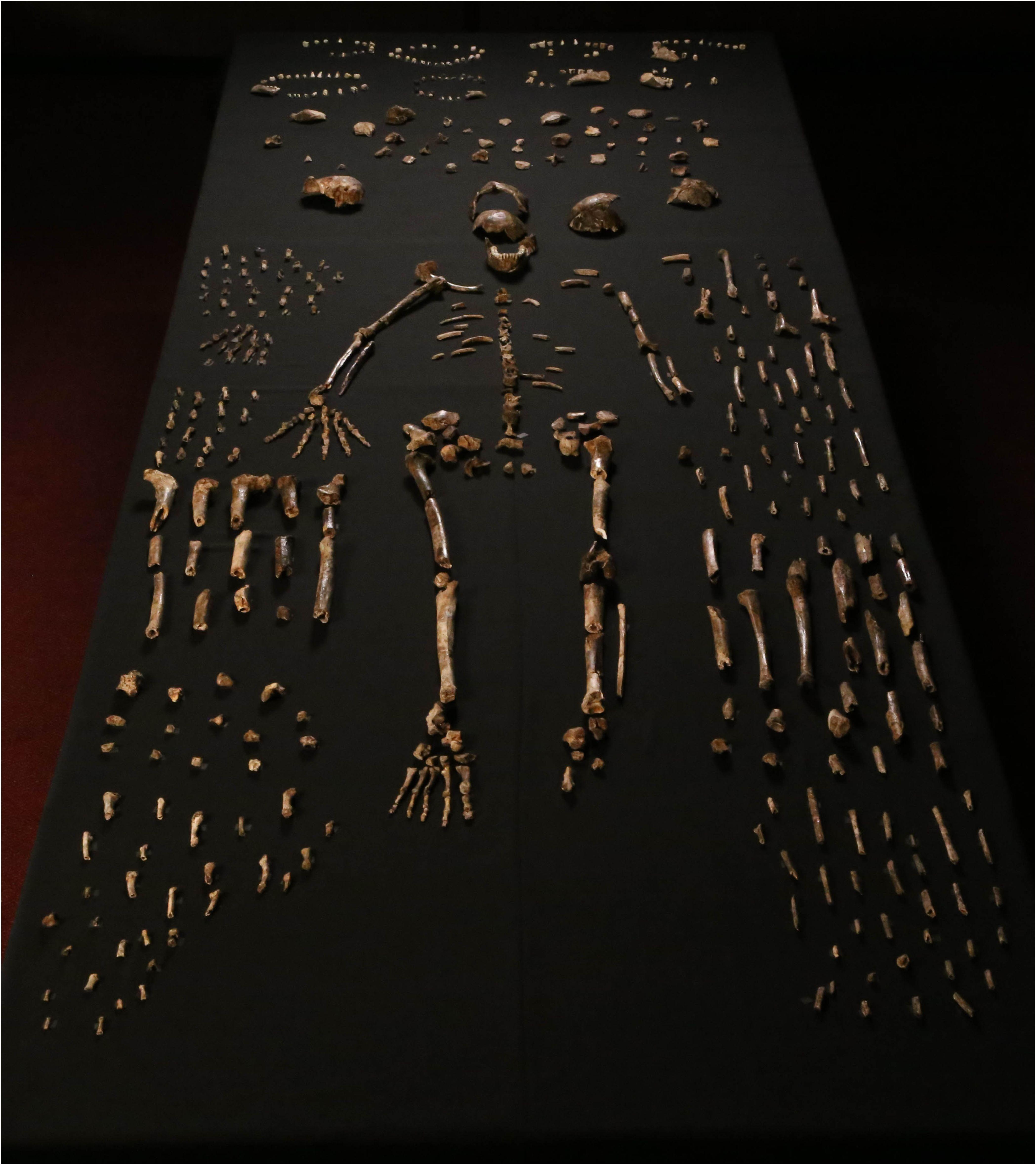Esqueleto completo do H. naledi e muitos outros ossos (Foto: Reprodução)