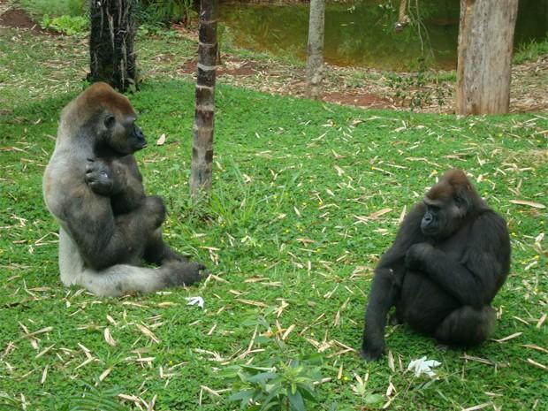 Idi Amin junto da gorila Kifta no Zoológico de Belo Horizonte. (Foto: Daniel Alves/Fundação Zoo-Botânica)