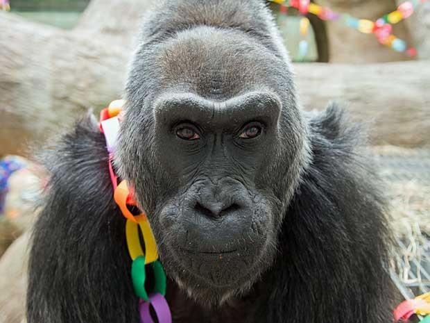 'Colo' é o gorila mais antigo mantido em zoológico, e chegou no Zoo de columbus em 1956. (Foto: Grahm S. Jones / Columbus Zoo / Via AP Photo)