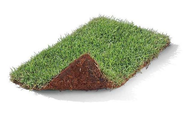 A vantagem do tapete de grama é que se desenvolve com rapidez e homogeneidade. É ideal para grandes áreas (Foto: Evelyn Müller)