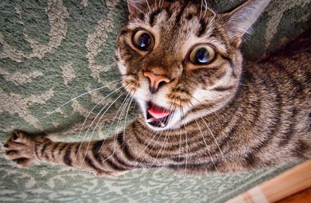 Gato parece 'gritar' ao ser fotografado bem de perto (Foto: Reprodução)