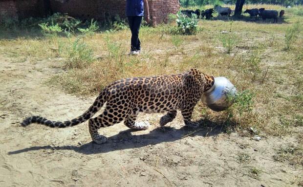Segundo autoridades, há entre 12 mil e 14 mil leopardos na Índia (Foto: Kabir Jethi/AP)