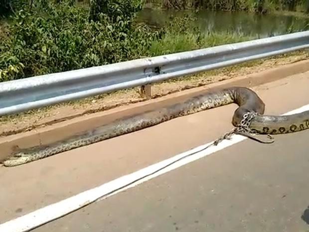 Moradores encontram cobra de sete metros em rodovia de Mato Grosso (Foto: Henrique Cotrim/TVCA)