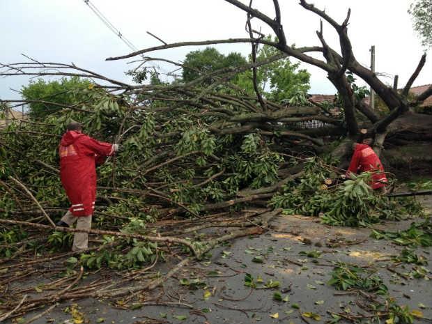 Queda da árvore deixou cerca de 250 unidades consumidoras sem energia, diz Copel (Foto: Alyohha Moroni/RPC TV)