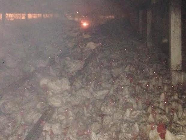 Parte dos frangos que estava no barracão morreu após o incêndio em Nova Mutum. (Foto: Divulgação)