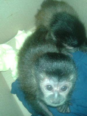 Três filhotes de macaco estavam em caixas no interior do carro (Foto: Divulgação/PM Rodoviária)
