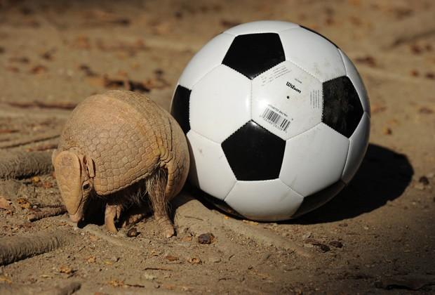 Tatu-bola, mascote da Copa do Mundo, é visto ao lado de uma bola em zoológico do Rio de Kaneiro (Foto: AFP Photo/Vanderlei Almeida)