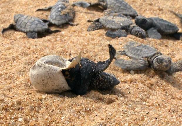 Tartarugas marinhas (Foto: Reprodução/ TV Gazeta)