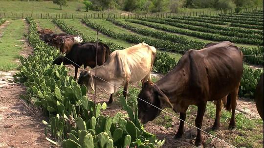 Novo tipo de manejo na BA oferece palma para o gado direto na lavoura