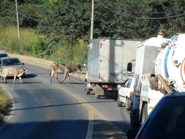 Gado atrapalha trânsito de veículos na região do Ouro Verde (Foto: César Fontanele)