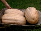 Agricultor de Porto Ferreira produz couve gigante e abóbora com 20kg