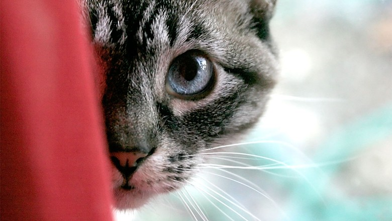 gato-animal-de-estimação-pet (Foto: Jason Scragz/CCommons)