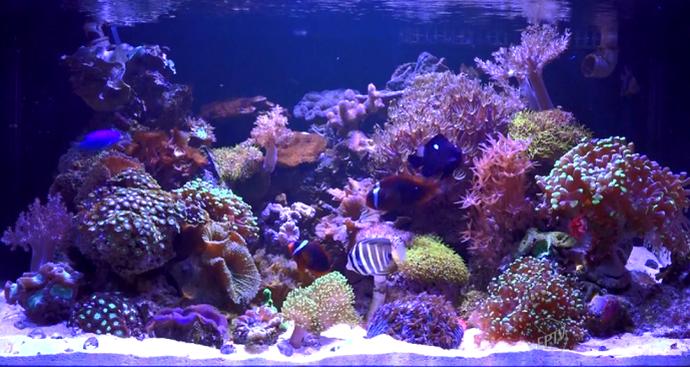 O aquário marinho requer maior cuidado devido à presença de corais (Foto: reprodução EPTV)