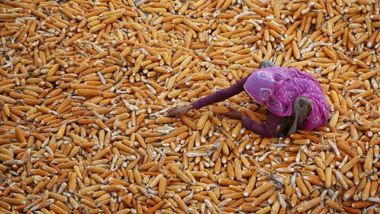 Uma fazendeira indiana seca sua colheita de milho em uma vila, próximo de Ajmer, na Índia (Foto: AP Photo/Deepak Sharma)
