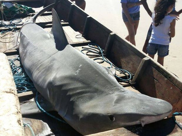 Tubarão-tigre tem mais de 3m e 200 kg (Foto: Dênisson Souto/Arquivo Pessoal)
