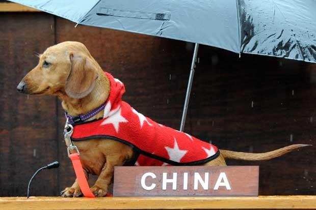 São 47 cães da raça Dachshund representando diferentes nações. (Foto: Torsten Blackwood/AFP)