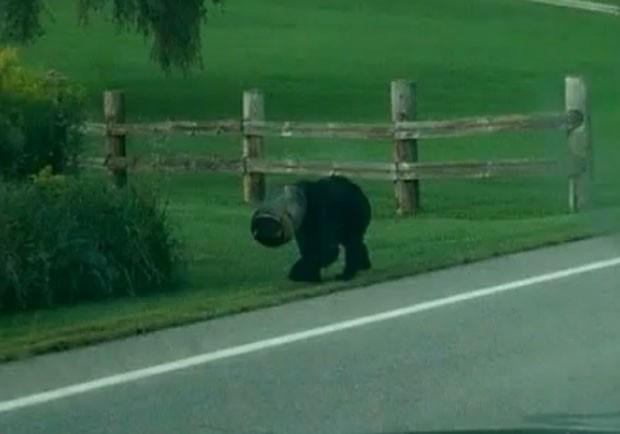 Urso foi resgatado ao ser flagrado com a cabela presa em balde (Foto: Reprodução/YouTube/Dean H)