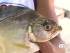 Redes serão instaladas para conter ataques de piranhas em P. de Açúcar