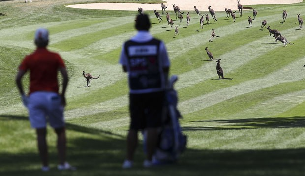 Dezenas de cangurus invadiram campo de golfe em Camberra (Foto: Stefan Postles/Getty Images)