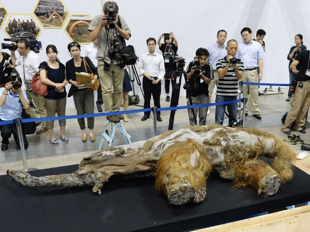 Filhote de mamute lanoso fêmea encontrado na Sibéria é exibido no Japão (Foto: Kazuhiro Nogi/AFP )