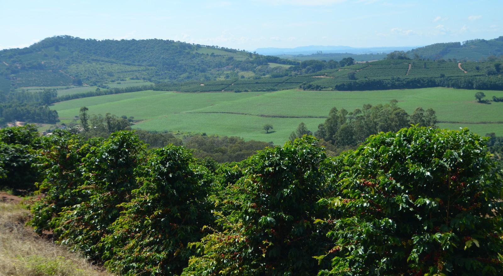 Produtores apostam na diversificação no campo, aliando café com áreas de sorgo (ao centro) e soja posteriormente (Foto: Lucas Soares)