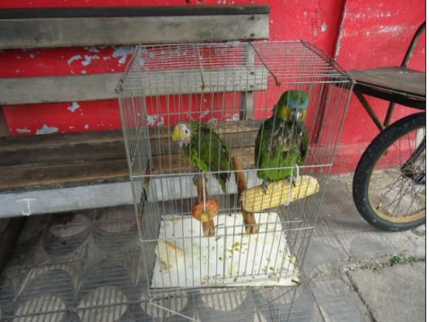 Papagaios apreendidos em Cubatão têm em média dois meses de vida (Foto: Divulgação/ Polícia Militar Ambiental)
