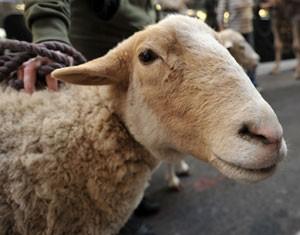 Ganês de 21 anos foi multado em cerca de R$ 610 após ser flagrado fazendo sexo com ovelha  (Foto: Stan Honda/AFP)