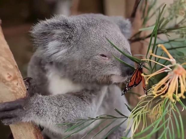 Coala Willow é australiano e mora em Sydney (Foto: BBC)