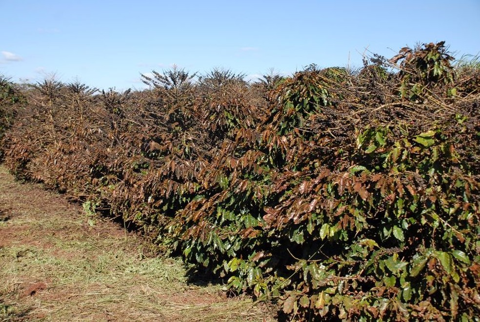 Iapar e Simepar alertam para risco de geada em parte da região cafeeira do Paraná (Foto: Divulgação/Iapar)
