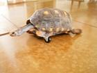 Tartaruga tem pata amputada e ganha rodinha para conseguir andar