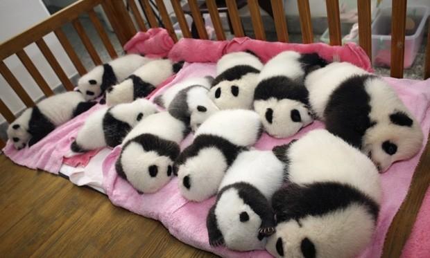 Cama coberta de filhotes de pandas  (Foto: AP)