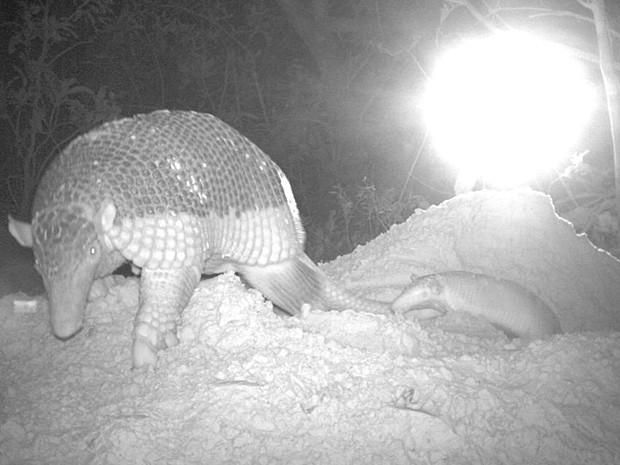 Tatu-canastra e o filhote são vistos saindo da toca (Foto: Pantanal Giant Armadillo Project/Fazenda Baía das Pedras)