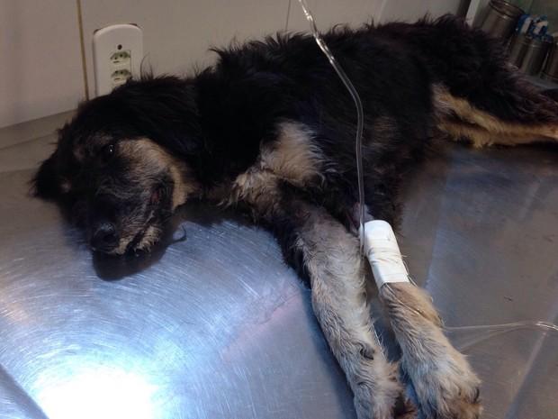 Cão passa por atendimento após ser envenenado (Foto: Arquivo Pessoal/Naíne Teles)