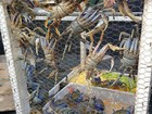 Fiscalização apreende dentro de bar em Maragogi, AL, 41 caranguejos-uçá