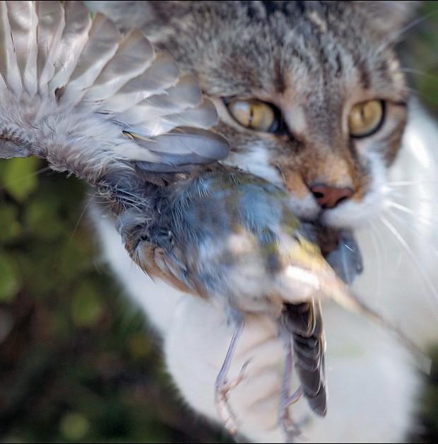 BOM CAÇADOR Flagrante de um gato no ato de atacar uma ave. Estima-se que um felino desses mate  80  animais por ano (Foto: Claudius Thiriet/Gamma-Rapho/Getty Images)