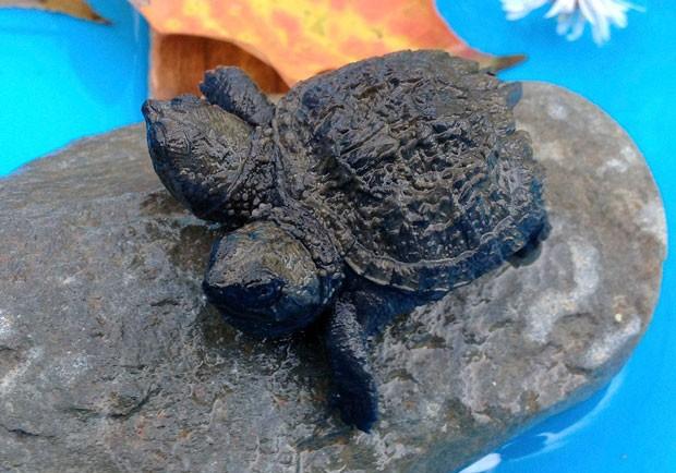 Kathleen Talbot encontrou uma tartaruga de duas cabeças em uma estrada em Hudson (Foto: Dan Frye/WLBZ-TV/AP)