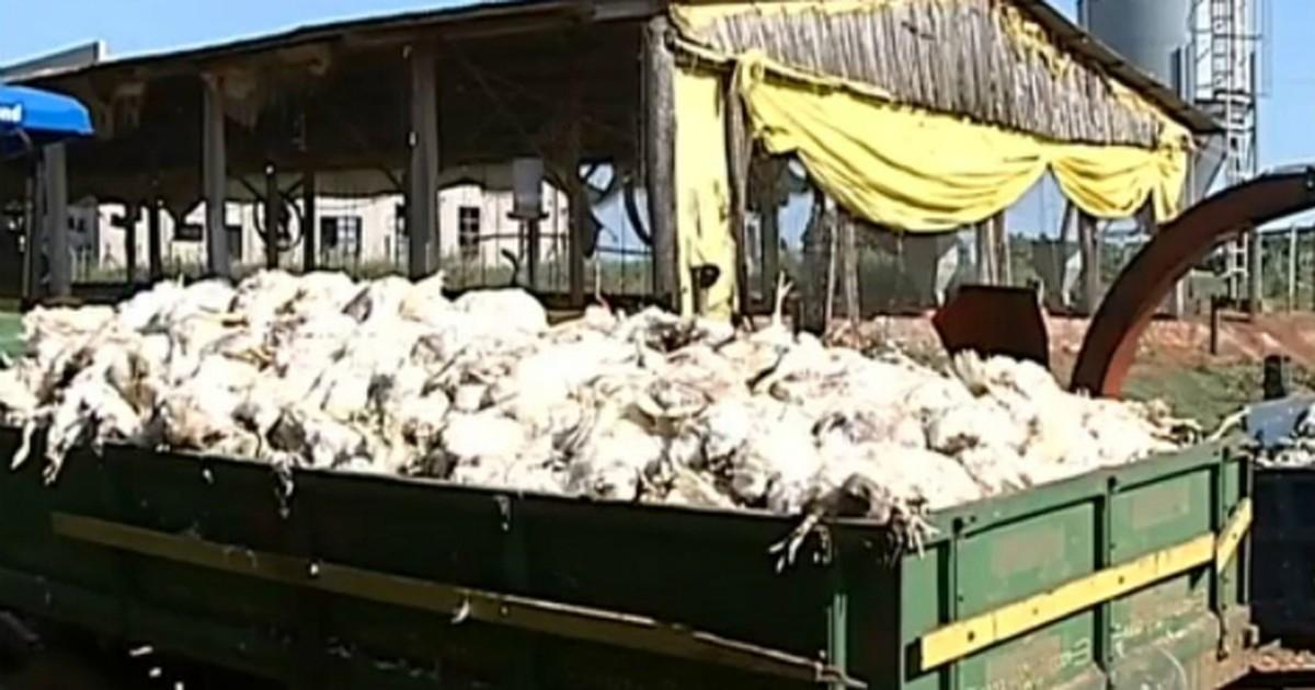 Falta de energia provoca a morte de 12 mil frangos em Cesário Lange - Globo.com