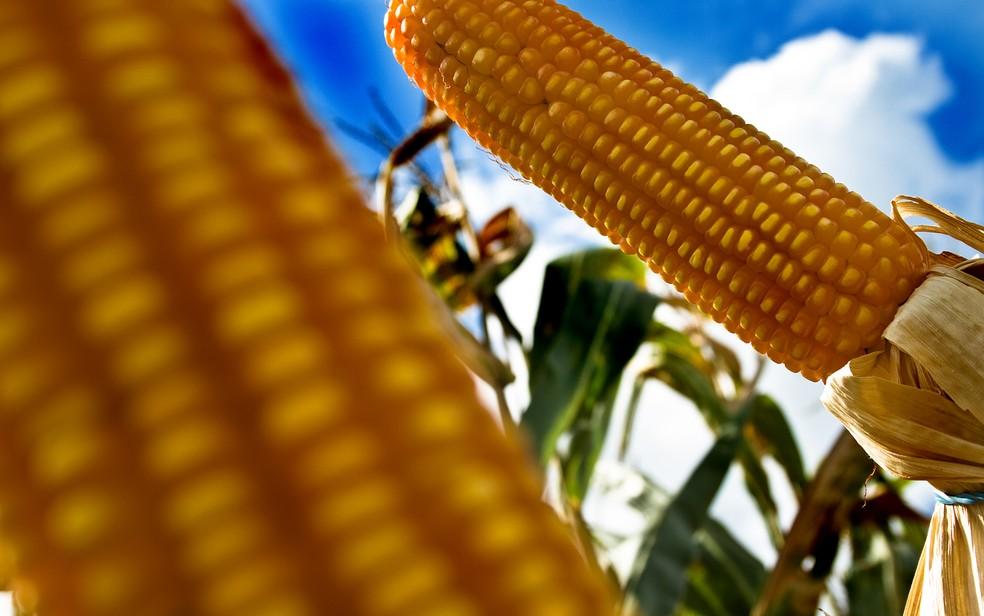 Espiga de milho transgênico em lavoura de Santa Helena de Goiás (GO). (Foto: Alf Ribeiro/Estadão Conteúdo/Arquivo)
