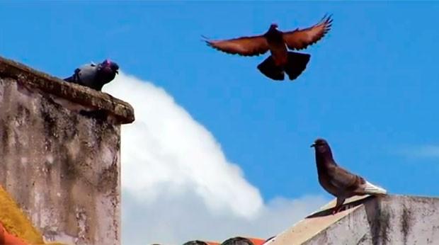 Superpopulação de pombos virou caso de investigação na Promotoria de Saúde Pública (Foto: Reprodução/Inter TV Cabugi)