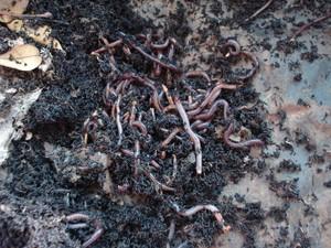 Húmus pode ser uma alternativa para tratar solo contaminado (Foto: Divulgação/USP)