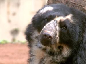 Urso de óculos Jabu do Parque Ecológico de São Carlos (Foto: Reprodução/ EPTV)
