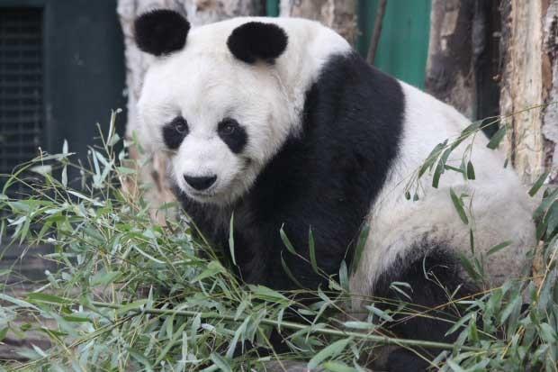 Bao Bao, que morava no Zoológico de Berlim desde 1980, morreu nesta quarta-feira (22) aos 34 anos (Foto: BBC)