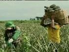 Produção de abacaxi gera três mil empregos no sudeste do PA
