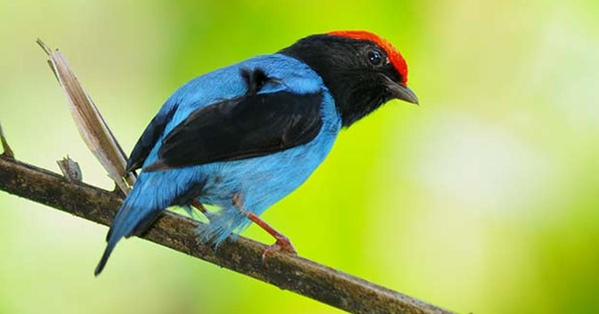 Resultado de imagem para Tangara- aves-imagens