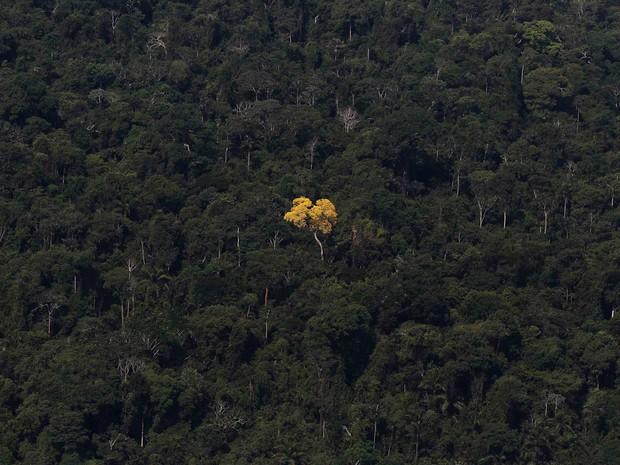 Ipê amarelo é visto em meio à floresta perto de Novo Progresso (PA). Os fotógrafos Nacho Doce e Ricardo Moraes, da agência Reuters, viajaram pela Amazônia registrando várias formas de desmatamento. Foto de 20/9/2013. (Foto: Nacho Doce/Reuters)