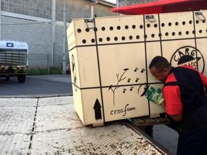 Animal foi transportado em uma caixa de madeira (Foto: Divulgação/Latam Cargo Brasil)