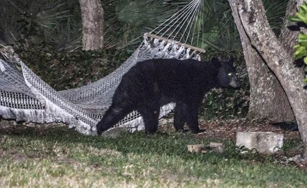 Urso usou a rede por 15 minutos até se assustar quando as luzes da casa foram acesas (Foto: Rafael C. Torres/Reuters)
