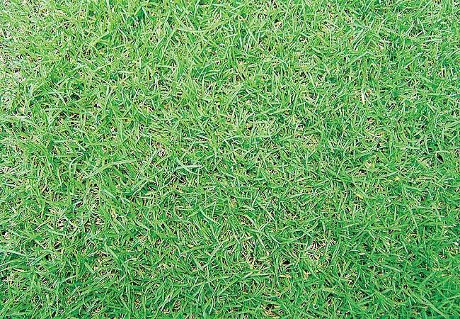 Bermudas  Cynodon dactylon  A excelente resistência ao pisoteio e a ótima capacidade de regeneração tornam esta grama indicada para gramados esportivos. Suas folhas estreitas têm cor verde intensa e crescem rapidamente. Não tolera áreas semi-sombreadas  (Foto: Evelyn Müller)